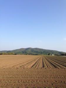 農家さんには頭が下がります。真狩の畑には、しっかりとした畝が盛られジャガイモが芽を吹き始めていました。